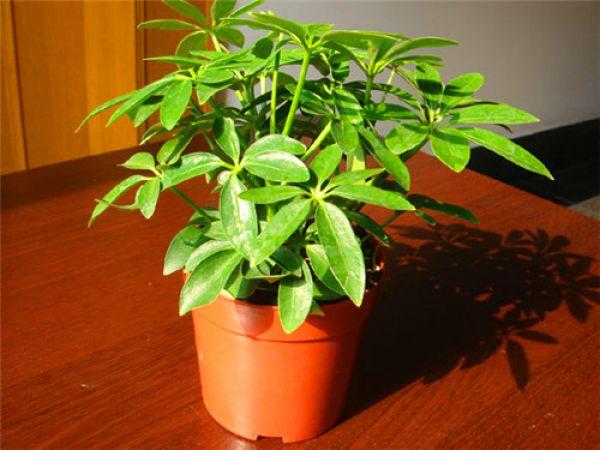 橡胶树:印度橡胶树,树干伸直挺拔,叶片厚而富光泽,繁殖力强而易种植