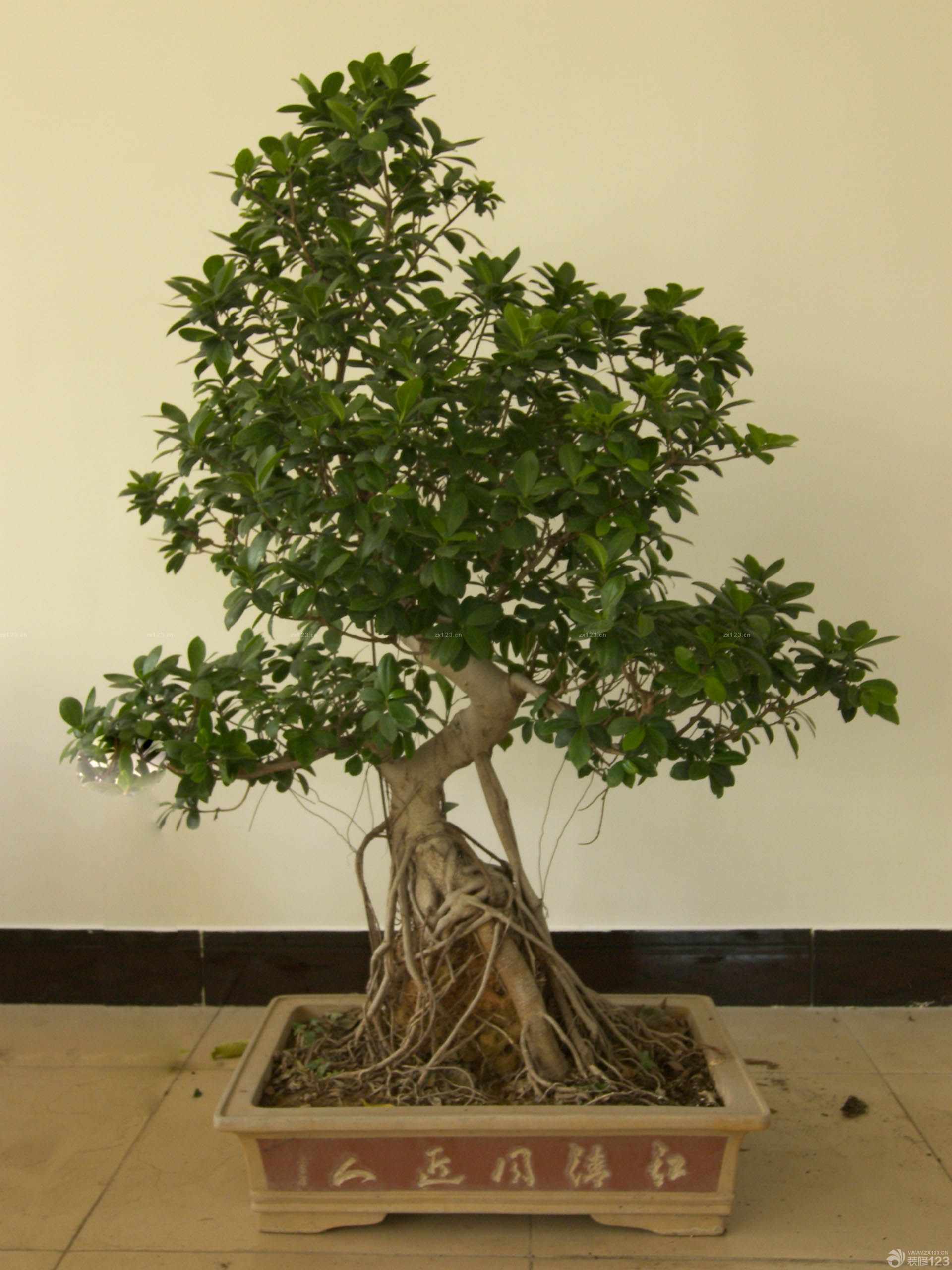 茂盛小叶榕树盆景图片欣赏