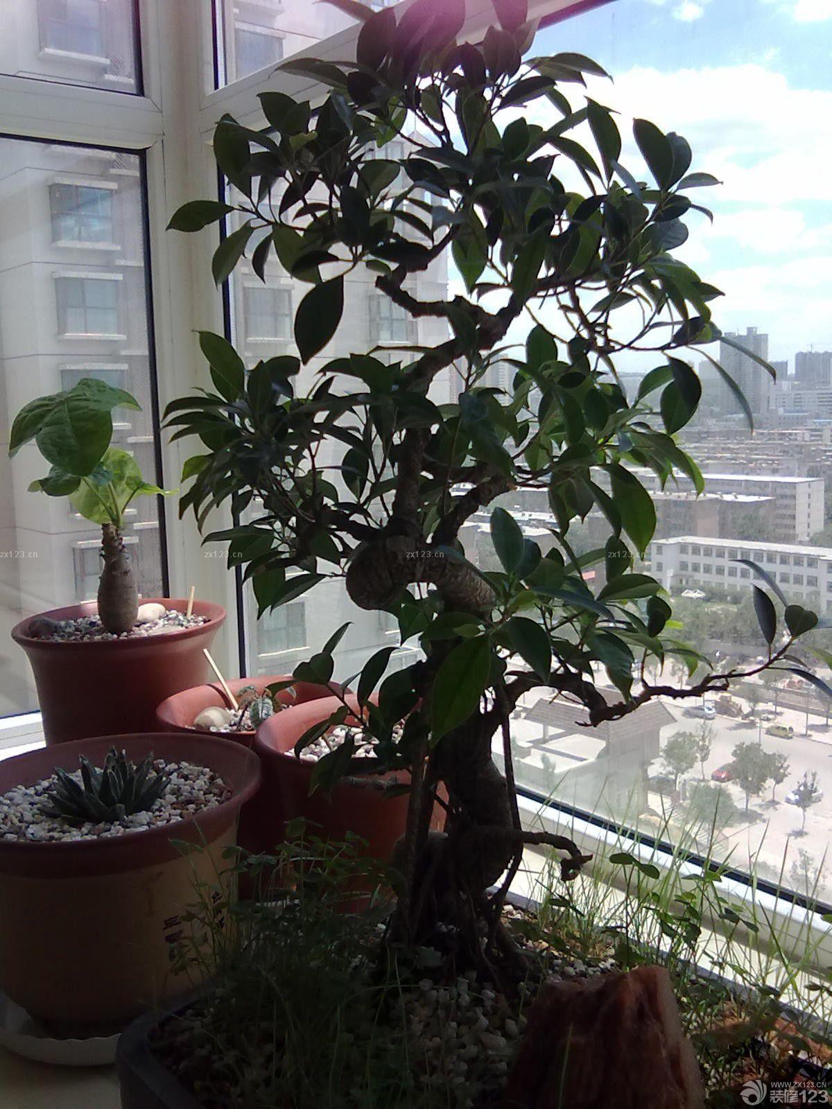 家庭小阳台榕树盆景摆放实景图