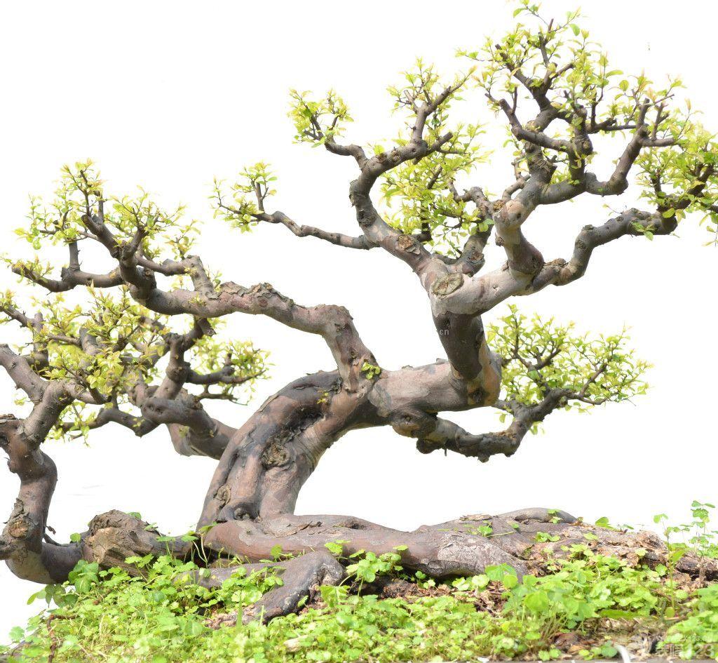 榕树盆景造型图片欣赏_装修123效果图