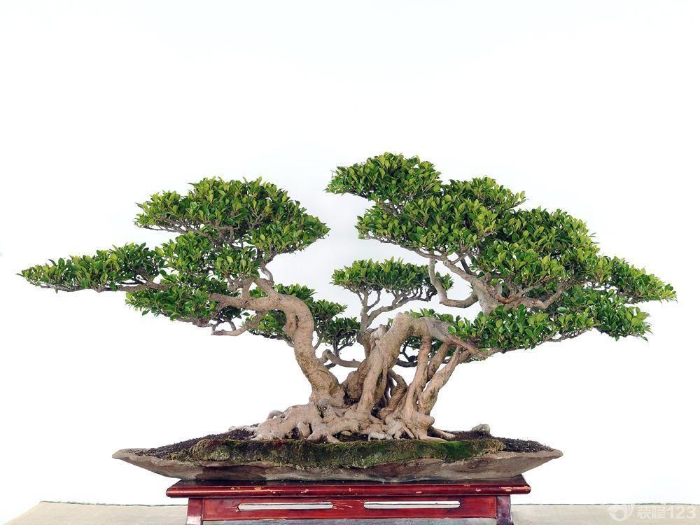 室内榕树盆景图片欣赏_装修123效果图