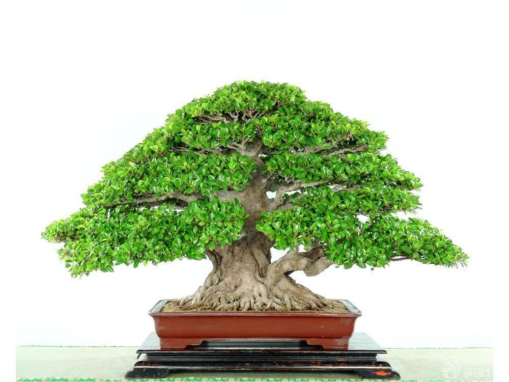 室内榕树盆景图片欣赏