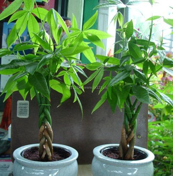发财树的风水学应用