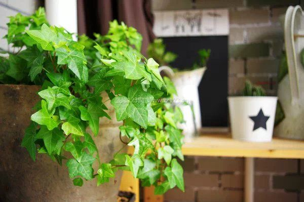 能去除苯污染的植物汇总